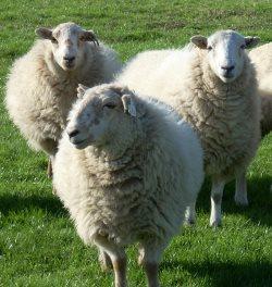 06-1a-sheep-group.JPG