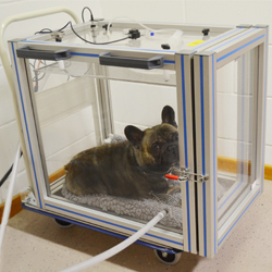 A French bulldog being tested