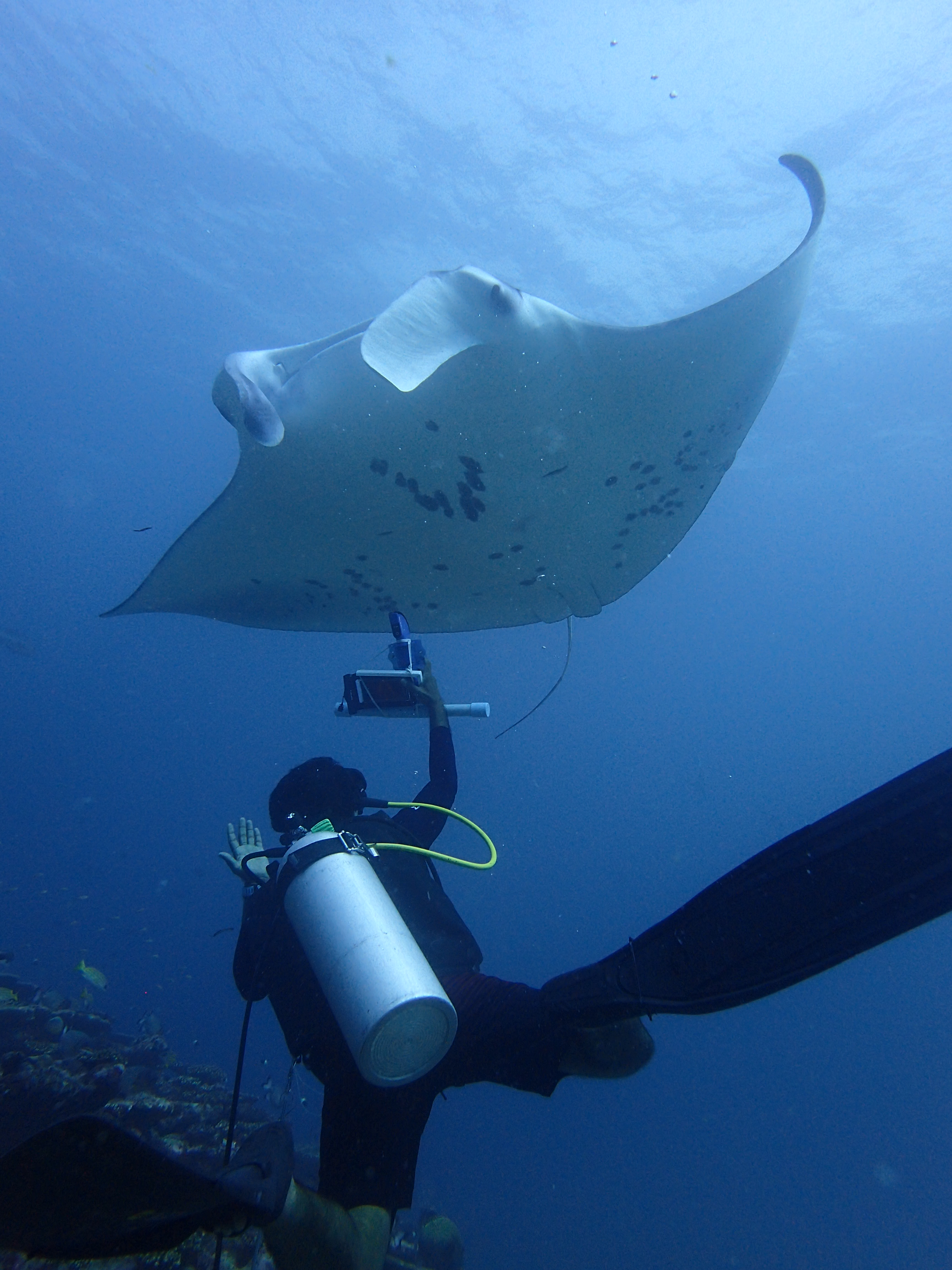 Deep water ultrasound examination of free living reef manta rays to assess reproductive status