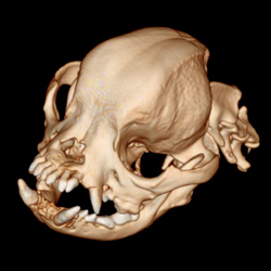 3D rendering of a pug from CT scans