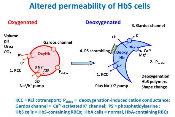 Altered permeability of HbS cells